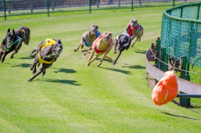 If you know how to read a greyhound racing program, you can increase your chances of a big payout.